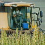 industrial hemp cultivation