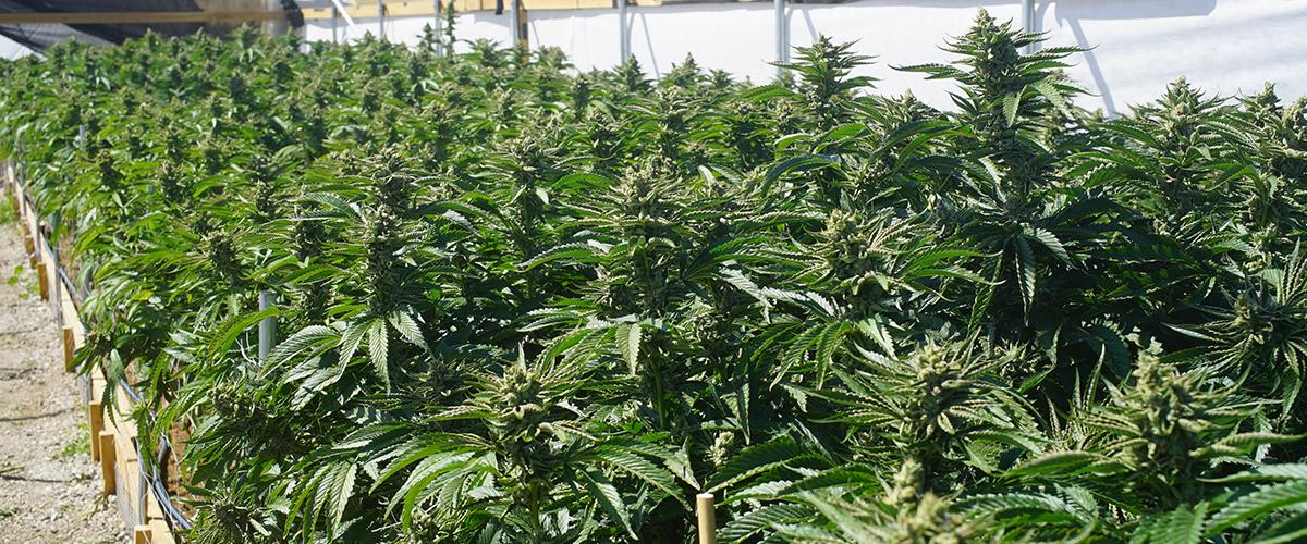 marijuana growing in berkeley