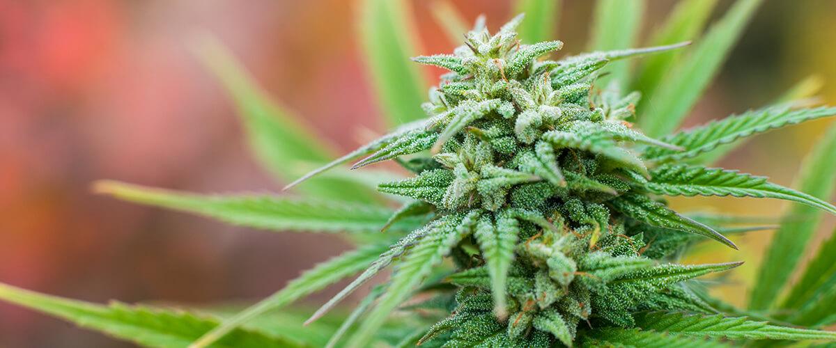 marijuana benefits bladder