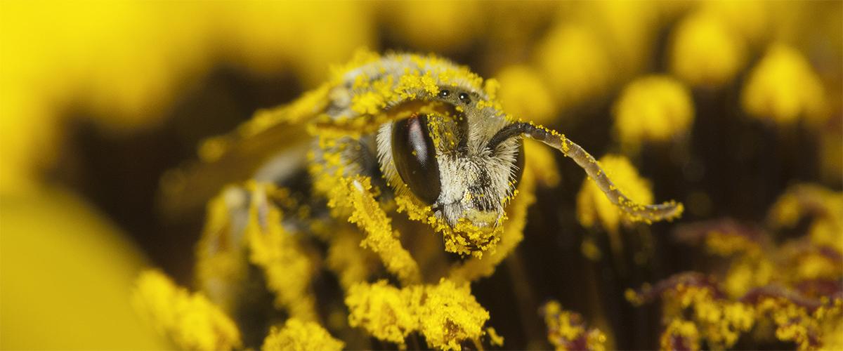 bee pollen hemp