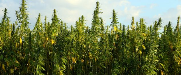 Hemp Acreage in U.S.