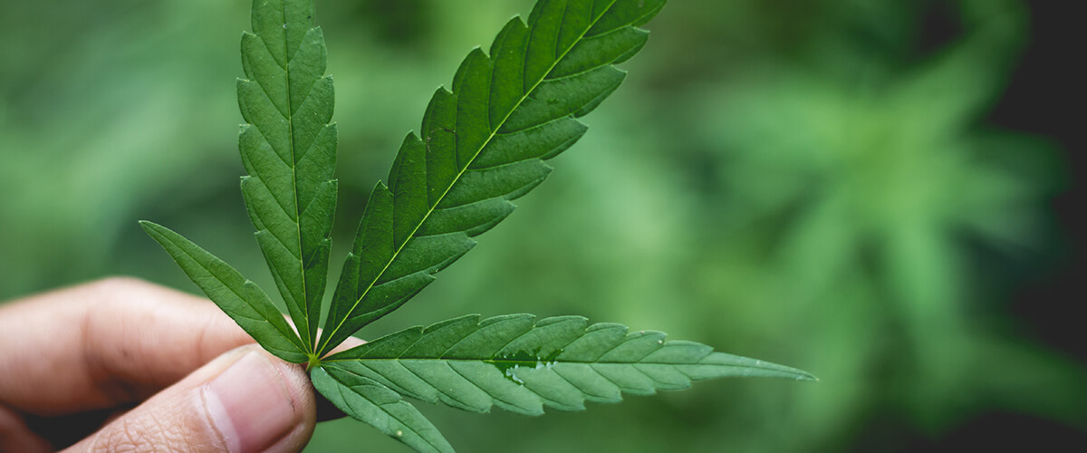 marijuana plant scheduling