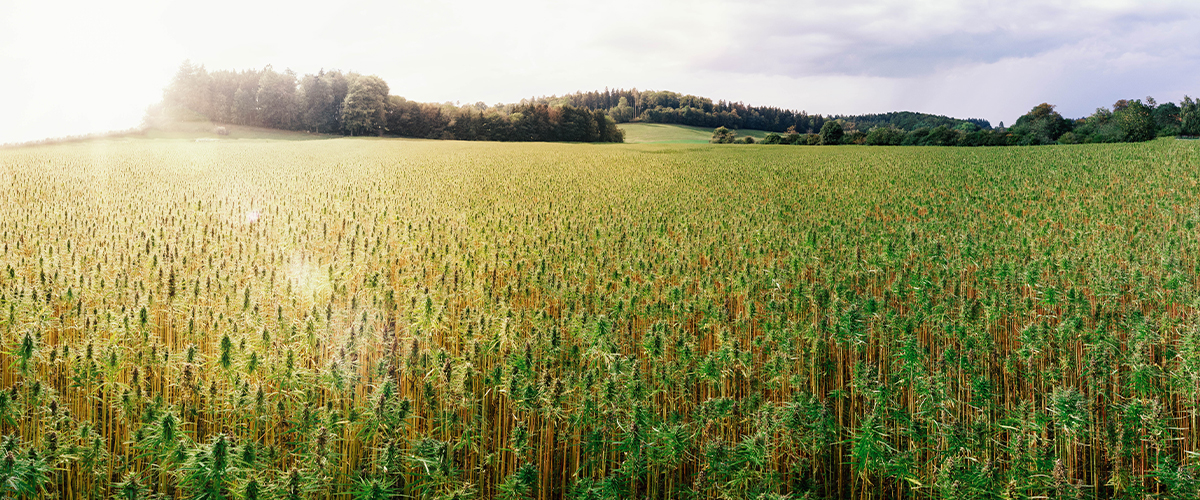 Hemp Legal in Iowa, Connecticut and Georgia