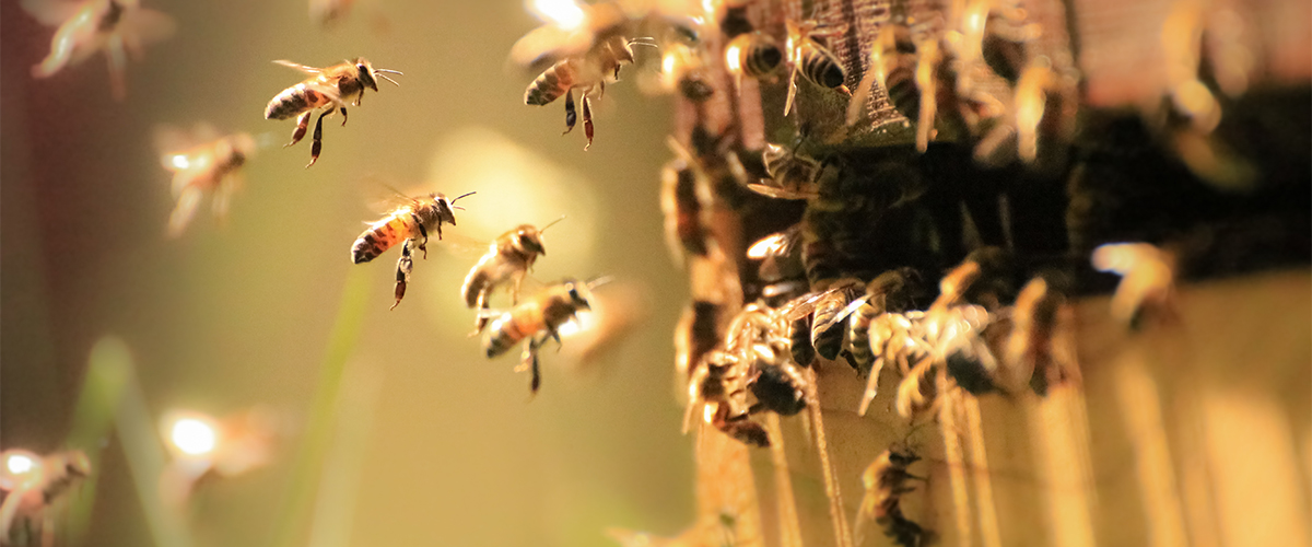 Honey bees pollinate hemp