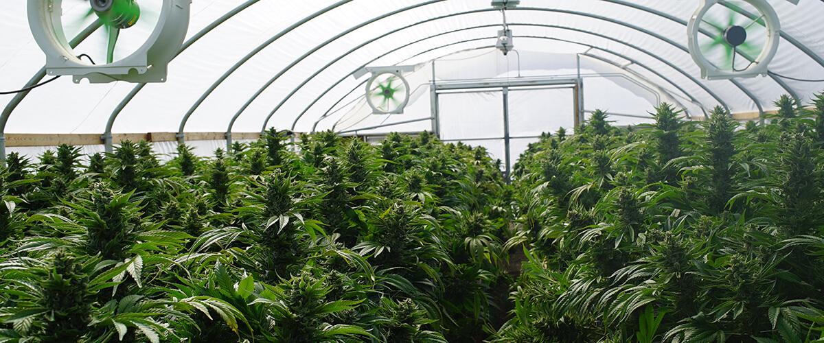 Research grade marijuana