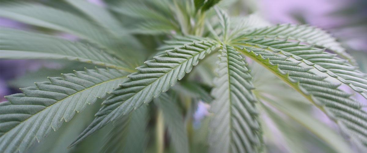 More Marijuana Dispensaries in California